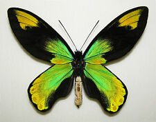 ORNITHOPTERA VICTORIAE ISABELLAE. MALE. VERY NICE! PERFECT QUALITY!