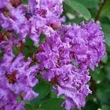 25 LIPAN CREPE MRYTLE SEEDS - Lagerstroemia (indica x fauriei)