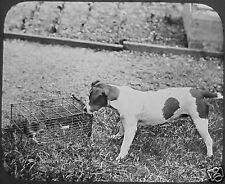 VICTORIAN Glass Magic Lantern Slide FOX TERRIER & RAT C1890 DOG DOGS PHOTO