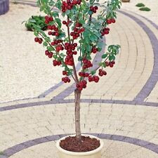 Cherry Tree Seeds - MIGHTY MIDGET - Large Sweet Cherries - GMO FREE - 10 Seeds