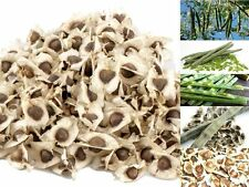 500 Seeds MORINGA OLEIFERA SEEDS,NATURAL ORGANIC 100 % From Thailand..