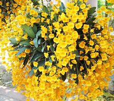 "ORCHID PLANT 4"" Basket size Dendrobium Lindleyi with phytosanitary cert."