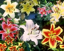 10 fragrant lilium oriental Lily bulb mix 14/16 cm fresh crop