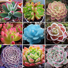 20 Rare Mixed Succulents Seeds Flower Organic