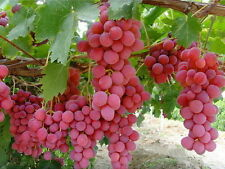 Giant Red Globe Grape Vine Fruit Plant Seeds 12 + Seeds -Uk Stock-