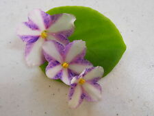 African Violet Chimera!!!Kilauea Starter Plant!!!!!!
