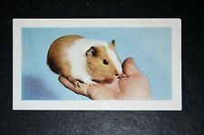 GUINEA PIG      Vintage Colour Photo Card