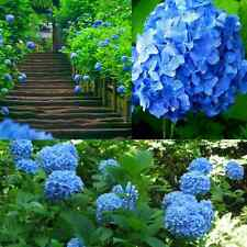 10pcs showy Blue Hydrangea Flower Seeds Easy to Plant Ideal Garden Present