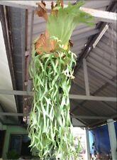 """Staghorn Fern (Platycerium coronarium Philippinse """"Dwarf"""") = 4,000 - 5,000 spore"""