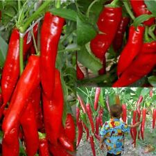 50Pcs Rare Giant Spices Red Spicy Chili Pepper Seeds Vegetable Plant Home Garden