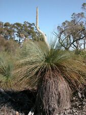 TUFTED GRASS TREE (Xanthorrhoea caespitosa) 30 seeds