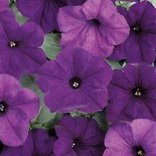 Petunia Wave  Fl Ultra Blue 10 Pelleted  seeds  Garden Seeds 2u