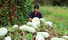 WAX GOURD Winter Melon White Ash Benincasa Hispida Vegetable Seeds