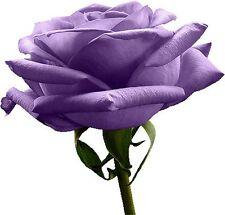 Heirloom 100 SEEDS Purple Roses Violet Rose Garden Double Flower Bulk Perennial