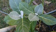 Giant Milkweed Butterfly Host and Nectar Plant 20 inches grown in 10 Inch Pot