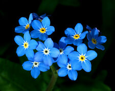 500 FORGET ME NOT BLUE FLOWER SEEDS,  + FREE GIFT*