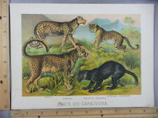 Rare Antique Original VTG 1880 Carnivora Asiatic Leopard Cheetah Litho Art Print