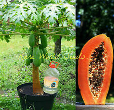 "Carica Papaya FROM INDIA: ""Pusa Nanha"" miniature papaya tree SUPER DWARF seeds!"