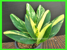 """NEW PHILODENDRON """"WISHBONE"""" Yellow Variegated Very RARE+ Free Phyto @@"""