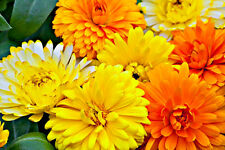 POT MARIGOLD DWARF MIX - Calendula officinalis - 400 seeds ANNUAL FLOWER