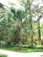 CHINESE FAN PALM (Livistona chinensis) 20 seeds