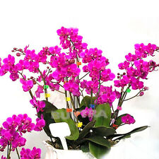 Hot Bonsai Plant Butterfly Orchid Seeds Mix-Color Phalaenopsis Flower CA JB