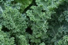 8000 Dwarf Blue Curled Scotch Kale seeds New seed for 2017 Non-Gmo,Heirloom
