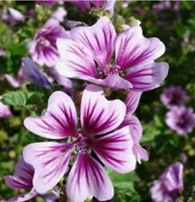 Seeds - Beautiful Flowers!! -75- Malva Zebrina Seeds