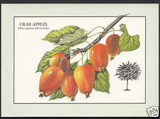 Nature Postcard - Fruit - Crab Apples - Malus Species and Varieties  WC186