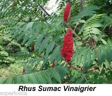RHUS SUMAC VINAIGRIER STAGHORN 20 Seed CANADA GREAT FALL COLOR COMB S/H + GIFT