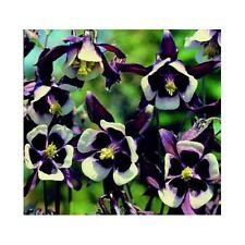 Columbine Seeds - AQUILEGIA WILLIAM GUINESS - Black Purple- Heirloom - 10 Seeds