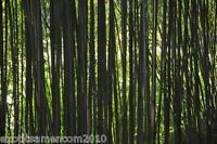 Schwarzer Riesenbambus Dendrocalamus strictus 250 Samen