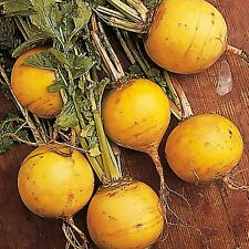500 Seeds Turnip Golden ball Turnip Seeds