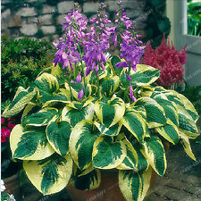 100pcs Hosta Seeds Perennials Plantain Lily Flower White Lace Home Garden