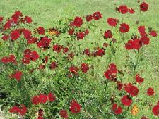 500 RED DWARF PLAINS COREOPSIS Flower Seeds *Comb S/H