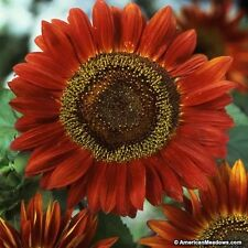 Sunflower- Red Sun- 100 Seeds-     50 % off sale
