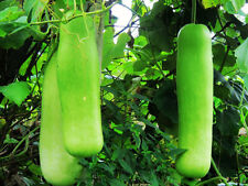 Bottle Gourd Seed 6 Seed Lagenaria Siceraria Green Ecology Vegetable Garden B054