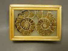 Ammonite Fossil Matched Pair in Handmade Bamboo Box Madagascar #S8