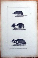 Hamster/Guinea Pig/Shrew 1830s French Animal Print - Cochon D'Inde, Musaraigne