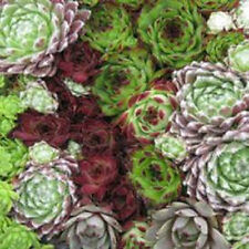 500 Seeds Hen & Chicks Mix Sempervivum Hybridum Seeds BULK SEEDS