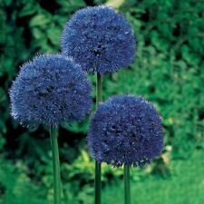 Persian Blue Colored Allium- 3  Large Bulbs 12cm   Size  Perennial  Plant Purple
