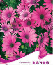 FD1220 Transvaal Daisy Flower Seed Osteospermum ~1 Pack 15 Seeds~ Free Shipping