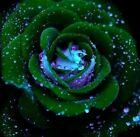 35 Rose Rosen Samen Grünfink Seeds Gothic Gardenin + Tribute - Geschenk