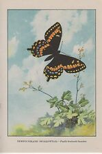 "1917 Vintage BUTTERFLY ""NEWFOUNDLAND SWALLOWTAIL"" COLOR ART PLATE Lithograph"