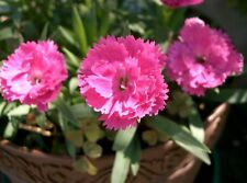 60 graines OEILLET DE CHINE DOUBLE(Dianthus Chinensis)G342 CHINA PINK SEEDS SEMI
