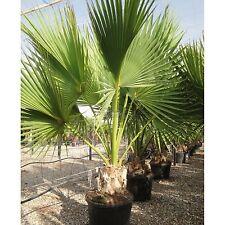 Palmera Kit para cultivar-Sabal Palmetto-todo lo necesario para hacer crecer su propio
