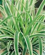 "Reverse Color Variegated Green and White ""Airplane"" Spider Starter Plant"