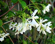 Night Blooming Jasmine Qty 60 Live Flowering Plants