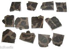 Linella avis Precambrian Stromatolite Fossil Australia cute