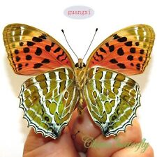 unmounted butterfly Nymphalidae Childrena childreni GUANGXI  A1
